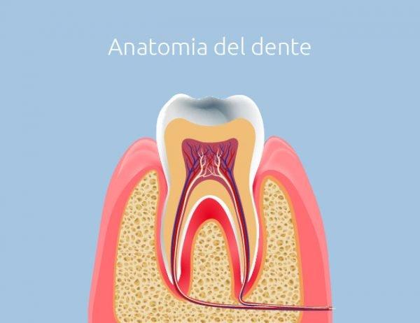Endodonzia - Anatomia del dente - Studio Dentistico Motta Jones Rossi & Associati - Milano centro